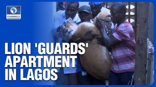 Police Evacuate Lion From Lagos Home