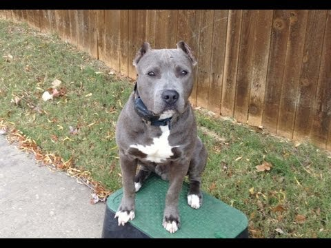Diesel - Blue Nose Pit Bull - Oklahoma Dog Training