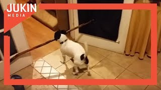 Dog Attempts to Carry Big Stick Through Doorway