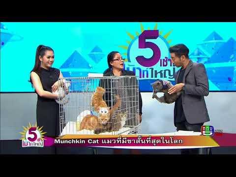 Munchkin Cat  แมวที่มีขาสั้นที่สุดในโลก