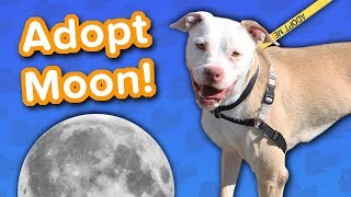 Adopt Moon // Pitty Mix // Adoptable Featurette