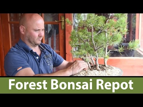130) Scots Pine Bonsai Forest Repot with Mark