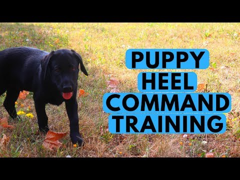 How to Teach a Puppy the HEEL Command