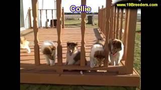 Collie, Puppies, For, Sale, In, Columbus, Ohio, Oh, North Ridgeville, Mason, Bowling Green, Massillo