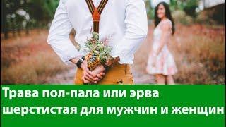 Трава пол-пала или эрва шерстистая для мужчин и женщин. Лечебные свойства и противопоказания