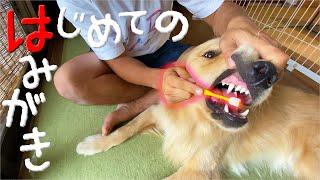 【レトリバー歯磨き】生まれて初めての体験にまるの反応は・・・?