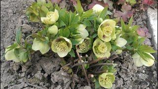 Зацвел кизил, примулы, морозники и хохлатка. Bloomed dogwood, primroses, hellebores and corydalis.
