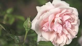 Роза Aphrodite (Афродита) [ROSEN TANTAU]
