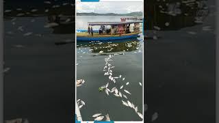 Bangkai Ratusan Ton Ikan Di Jangari Cianjur Sebabkan Bau Amis Menyengat