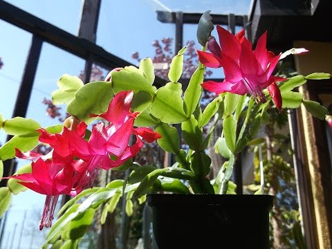 My schlumbergera buckleyi cactus christmas cactus flowering in my schlumbergera buckleyi cactus christmas cactus flowering in spring mightylinksfo