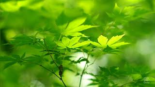 【青森】 白神山地 01 癒しの自然・ヒーリングBGM シリーズ