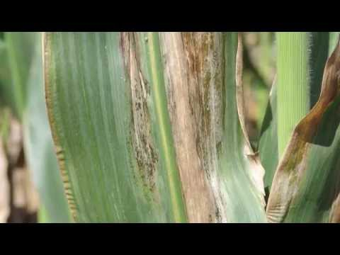Corn Diseases:  Goss's Bacterial Wilt and Blight