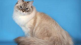 Невская маскарадная кошка сибирский колор пойнт  описание породы