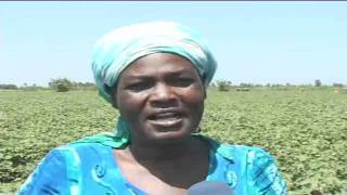 Cotton farming in Kisumu