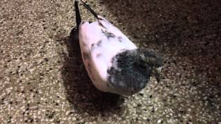 Sick Pigeon Dying   Does Anyone know What is this Disease Call?