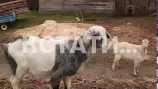 Тайна «нижегородской чупакабры» раскрыта - собаки растерзали убийцу домашних животных
