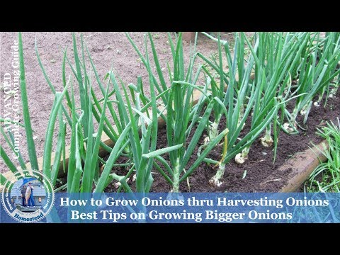 how-to-grow-onions-&-harvest-onions