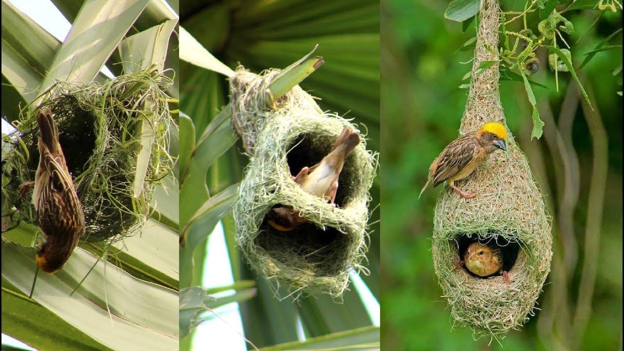 Wild Bird Nests Making Full Process Baya Weaver Bird Nest House