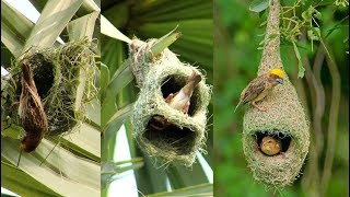 vuclip Wild Bird Nests Making Full Process - Baya Weaver Bird Nest/House  Build Up In Palm Tree