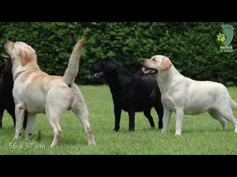 El Labrador Retriever