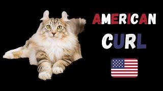 American Curl  Cat Breed  Vital Stats And Characteristics