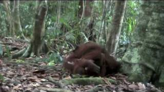 Wild Sumatran orangutan mother and baby wrestling