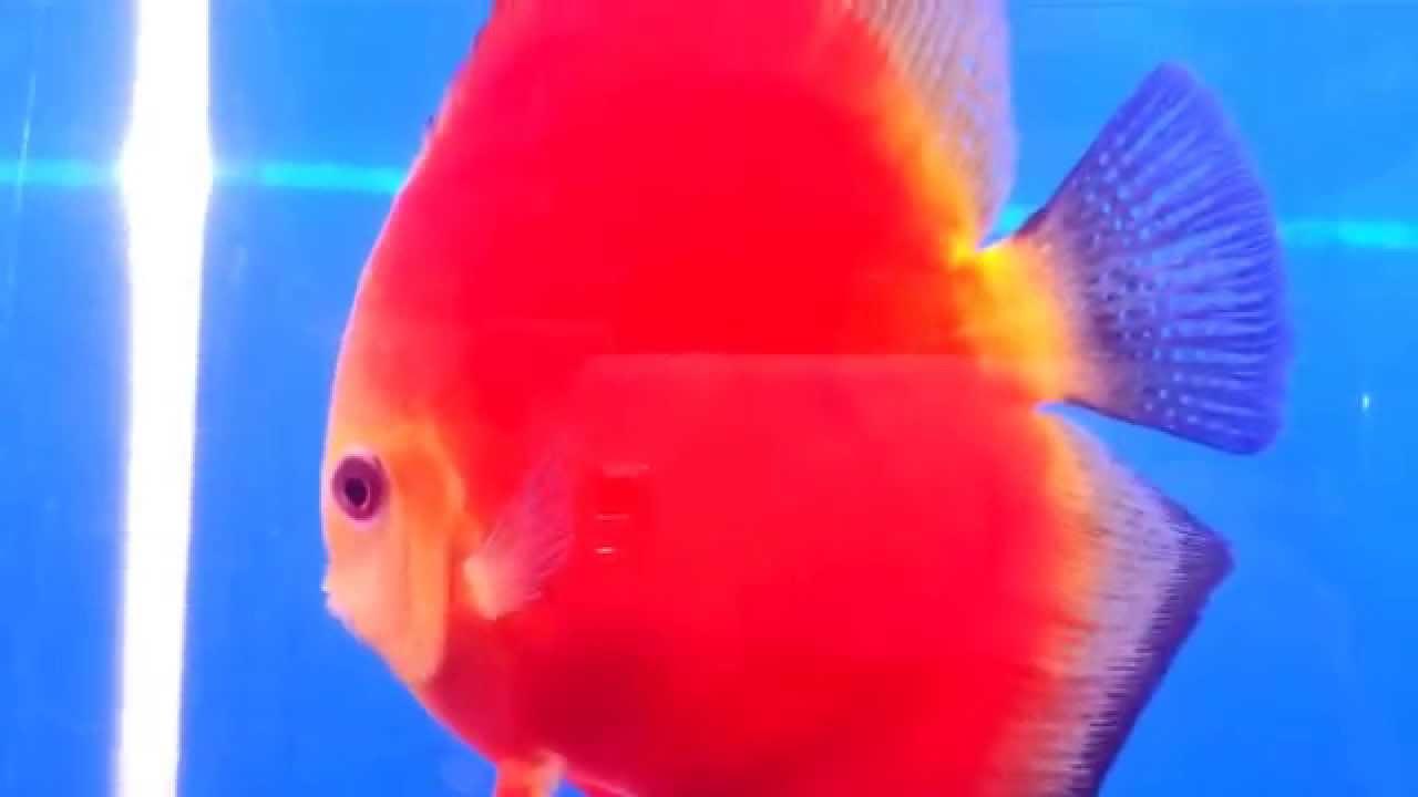 you see animal -45 : Red Pompadour fish show in aquarium number 73 ...