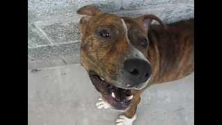 Cachorro Latindo ( pit bull )