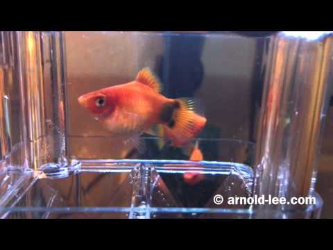 Mickey Mouse Platy Giving Birth On Mother's Day 母親節米奇魚媽媽生BB
