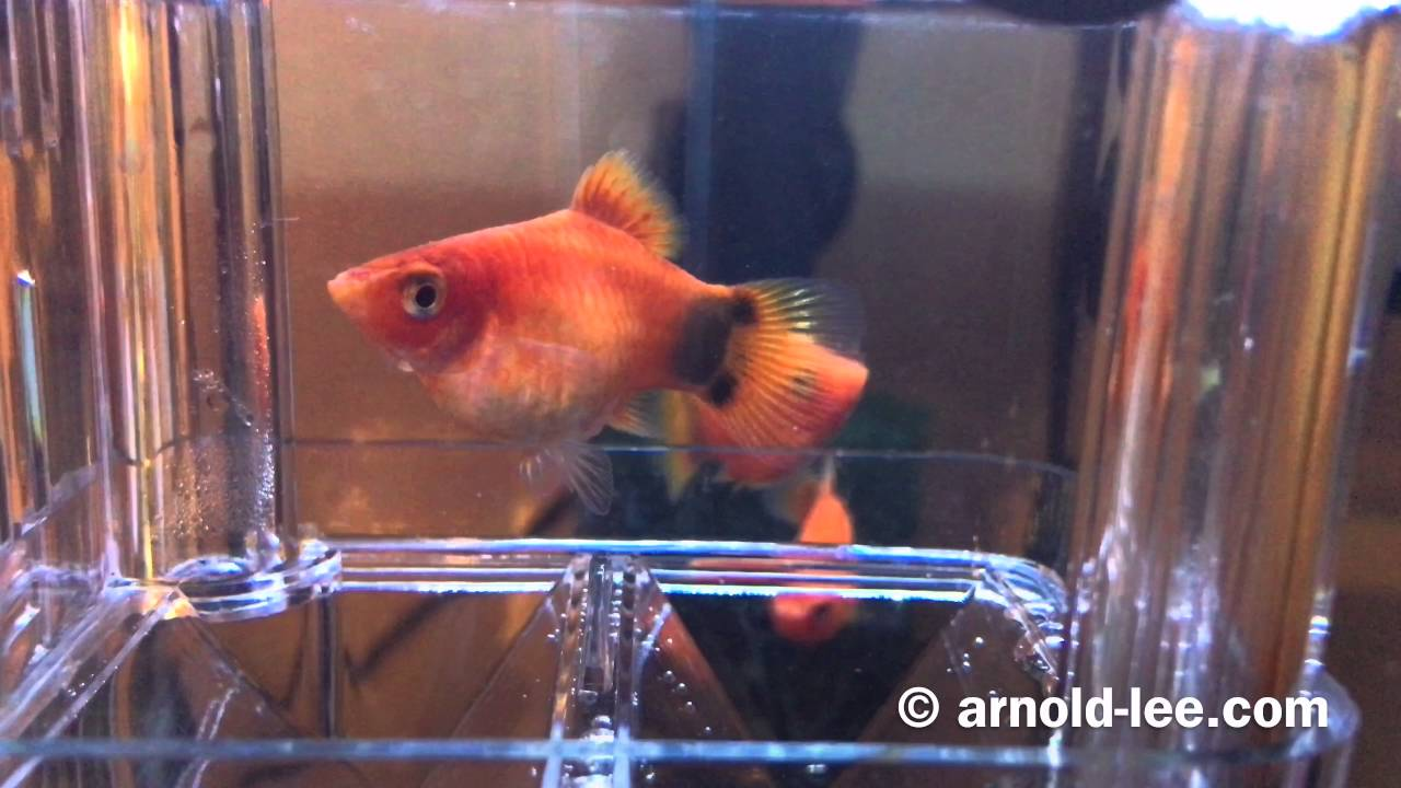 Mickey Mouse Platy giving birth on Mother\'s Day 母親節米奇魚媽媽生BB ...