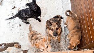 Реакция животных из приюта дарим подарки и приручаем диких собак private animal shelter