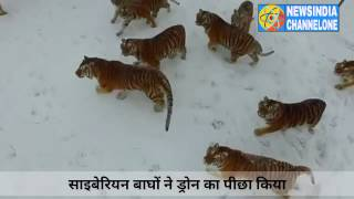 Siberian Tigers chase & attack Drone China- Amazing Video