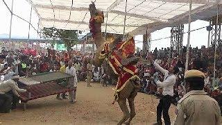 ऊँट का कमाल का डांस : पुष्कर मेला 2017 Beautiful Camel Dance : Pushkar Mela 2017: