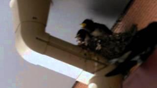 5羽の雛のうち3羽は、もう巣立ちの時期になりました。 親が頻繁に促して...