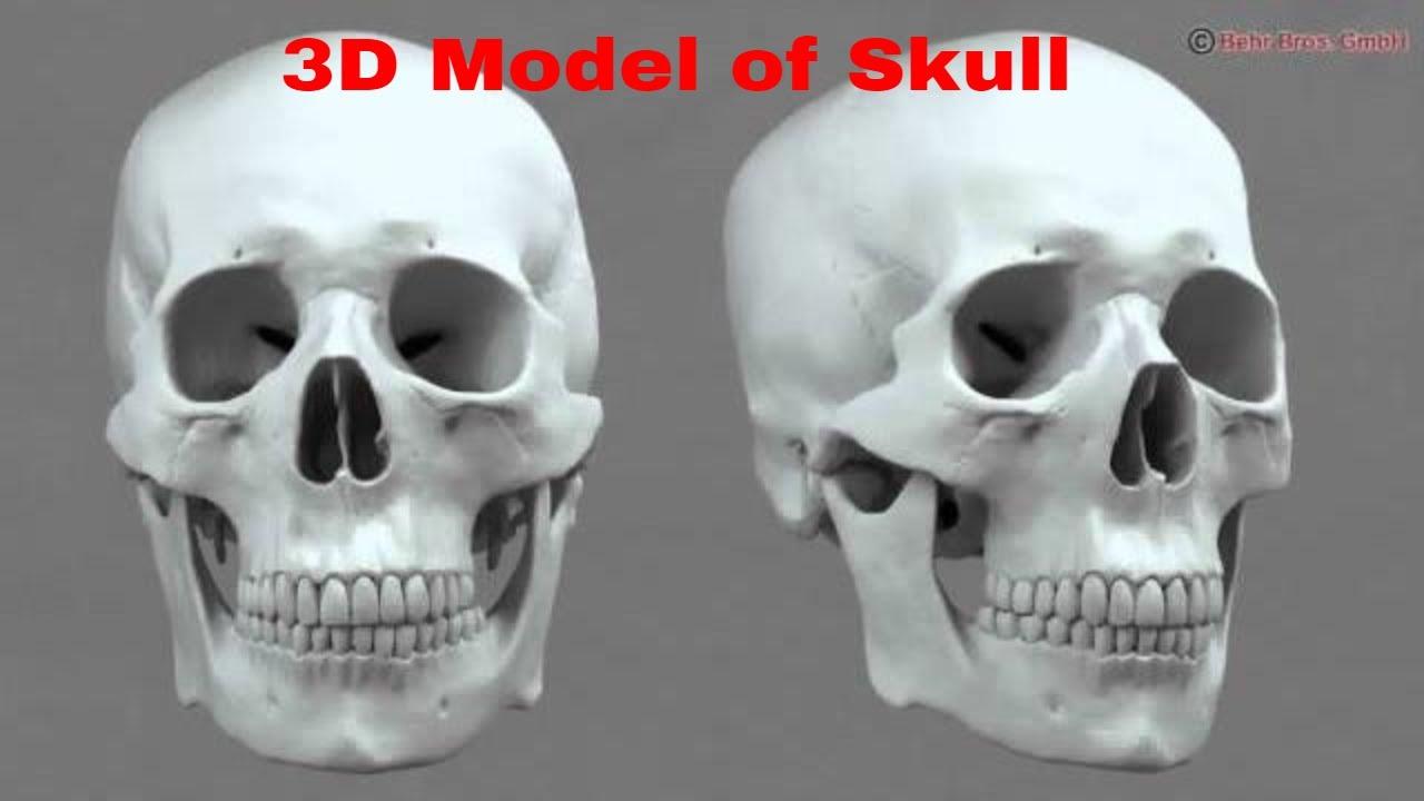 3D Model Of Skull Review