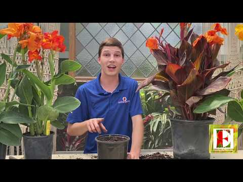 Canna Lily Care!
