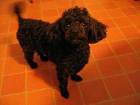 Cute Toy Poodle Demands Attention