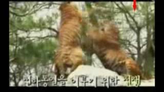 Tiger vs Lion. Tiger the more powerful paw swipes, smarter better boxer and fighter Part 4.
