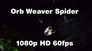 Orb Weaver Spider Wraps up a Moth