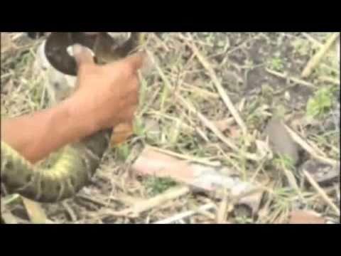 ferdelance snake video deadliest snake in the americas. Black Bedroom Furniture Sets. Home Design Ideas