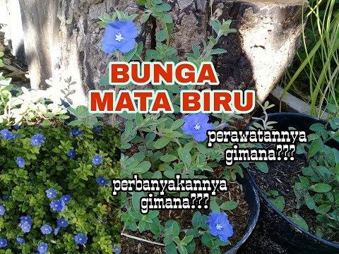 Cara Perawatan Dan Perbanyakan Bunga Mata Biru Youtube
