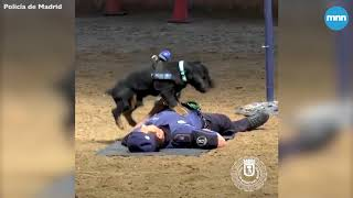 Poncho the police dog performs CPR to save his partner officer