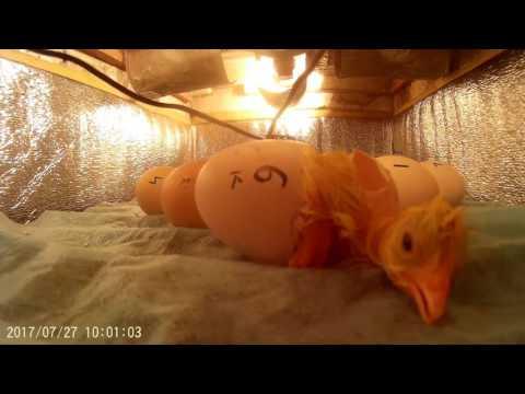 Вопрос: Сколько в днях выводятся цыплята из инкубатора?