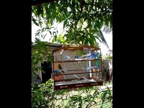 Trinidad Bullfinch   Sifu (part 2) singing in form
