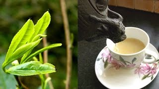 Irish Grown Tea - From Bush to Pot