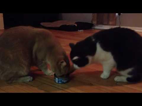 Two Cats Calmly Fight over Food
