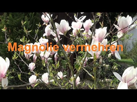 Magnolie Vermehren Durch Absenken Stecklinge Abmoosen Oder Samen Magnolie Selber Ziehen Ableger