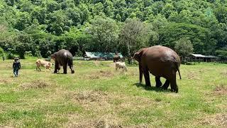 Elephant VS Cow