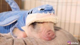 Baby Shark (PIG VERSION) Original Parody Dance - ADLEY