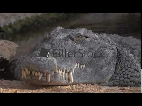 Close up view of fat crocodile head lying in Zoo thumbnail